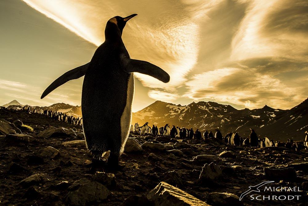 Südgeorgien Pinguine Königspinguin